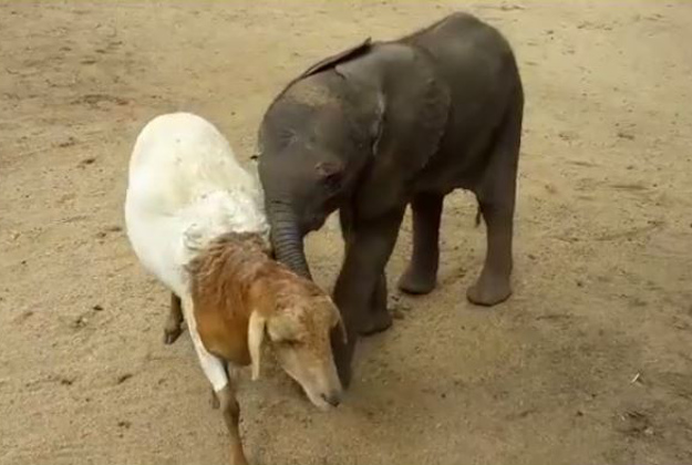 A rescued elephant befriends a goat at a South African animal rescue.