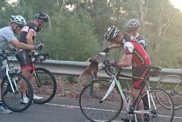 A thirsty koala wasn't shy about seeking out water from a group of passing cyclists in Australia. Found by the side of a freeway in Adelaide, South Australia, on Tuesday, the koala sat comfortably on the rim of a bike wheel as it quenched its thirst from a plastic water bottle while the cyclists waited for animal services to arrive. Given a clean bill of health, the resourceful little marsupial was released into the wild the next day