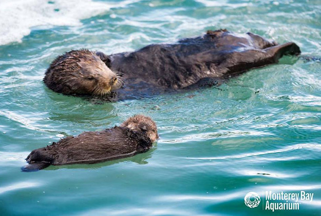 The Monterey Bay Aquarium posted adorable photos of a wild sea otter and her pup, which stayed at the aquarium for three days while the mother gave birth, as they were released back into the wild.