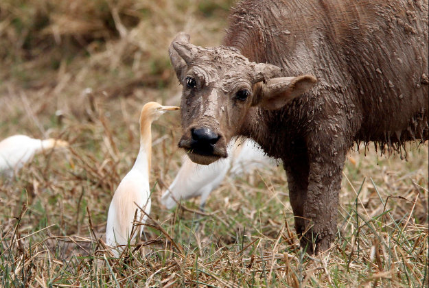 A water buffalo gets a bit of grooming