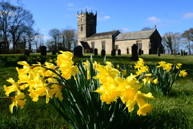 Daffodils on display in Yorkshire