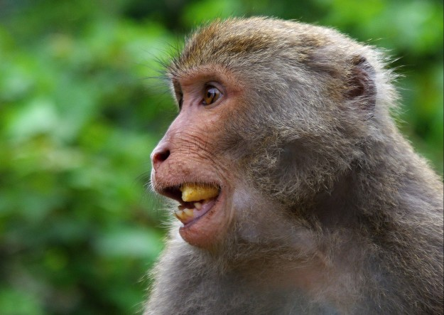 Escaped macaques on the loose around Denmark.