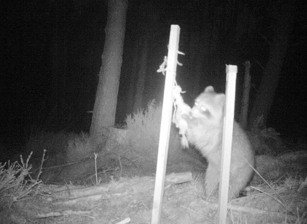 An escaped racoon in Scotland