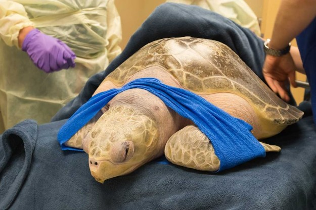 Tucker, a rescued sea turtle, became on March 31 the first non-human treated in the hyperbaric oxygen chamber at Virginia Mason Hospital. The large turtle had internal gas bubbles that prevented him from staying underwater. The team at the hospital are hoping putting him in the chamber with 100 percent oxygen for two-and-a-half hours a day will solve his buoyancy problems. Once he can dive safely, he'll be able to find food and avoid predators in the wild.