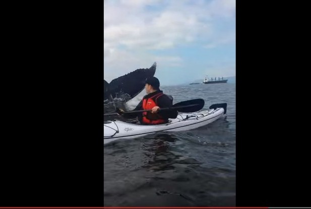 Kayaker surprised by giant humpback whale in Vancouver