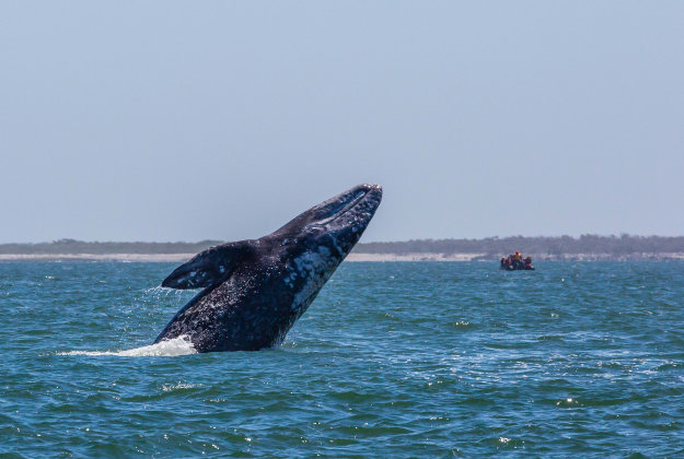 Up close with a gray whale.