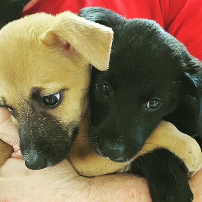 Two of the adorable potcake puppies rescued from the streets. Image: Potcake Place K-9 Rescue