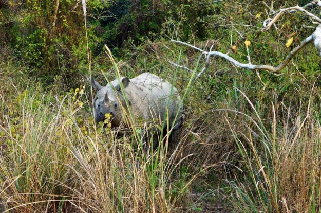 The jungles of lowland Nepal are home to an estimated 645 rhinos