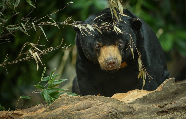 Milli, one of two sun bears at Chester Zoo who were originally rescued as cubs by conservationists working in Cambodia after their mothers were killed by poachers and they were found as mistreated pets. Image: Chester Zoo