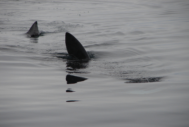 A school of a dozen basking sharks were caught on camera by a drone off the southern coast of Ireland during the recent fine weather spell