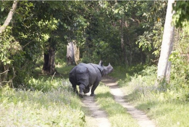 The rare one-horned rhino in Kaziranga, a World Heritage Site which is a wildlife conservation area of global importance.
