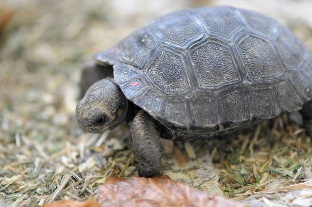 A Galapagos Giant Tortoise named Nigrita has become a mother again aged 80.
