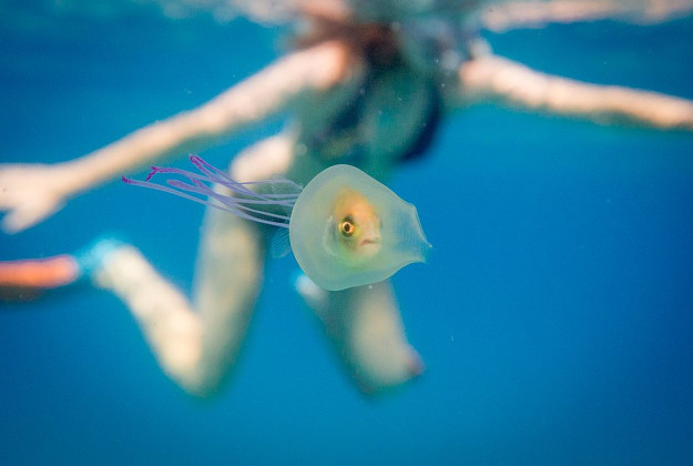 The amazing snap by ocean photographer Tim Samuels of a fish trapped inside a jellyfish off the Australia