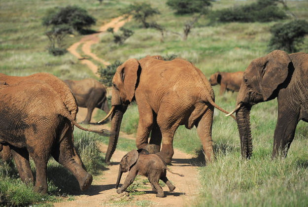 Elephants walking on a path at the Lewa Wildlife Conservancy at the foot of Mount Kenya.