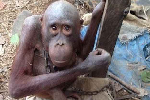 Beijing the orang-utan was found malnourished and with no hair after being enchained for years in Borneo