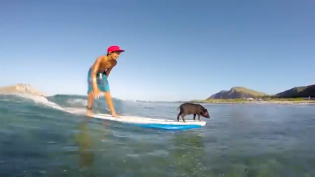 Surfing piglet Kama 2 on a board with his owner Kai: Image: YouTube