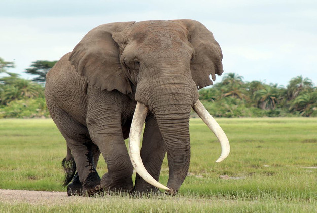 Tusker Tim with his trademark long right tusk was none the worse for wear after being treated by veterinarians