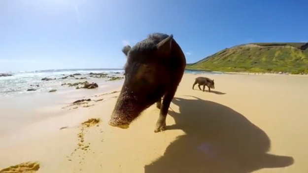 Surfing pig Kama with his son Kama 2 in Hawaii. Image: YouTube