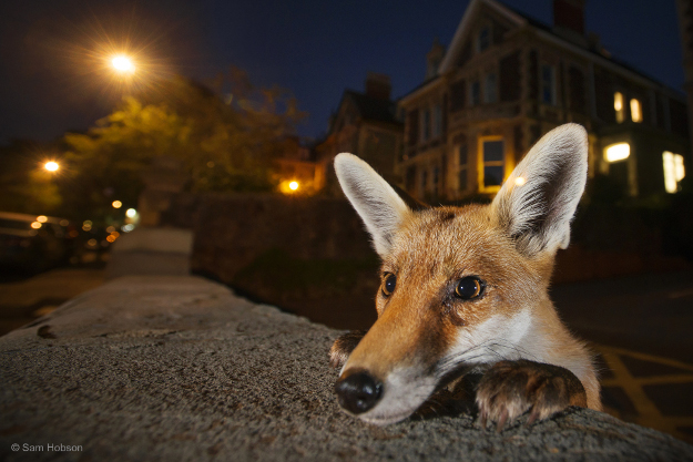 Sam knew exactly who to expect when he set his camera on the wall one summer's evening in a suburban street in Bristol, the UK's famous fox city. He wanted to capture the inquisitive nature of the urban red fox in a way that would pique the curiosity of its human neighbours about the wildlife around them. This was the culmination of weeks of scouting for the ideal location – a quiet, well‑lit neighbourhood, where the foxes were used to people (several residents fed them regularly) – and the right fox. For several hours every night, Sam sat in one fox family's territory, gradually gaining their trust until they ignored his presence. One of the cubs was always investigating new things – his weeping left eye the result of a scratch from a cat he got too close to. 'I discovered a wall that he liked to sit on in the early evening,' says Sam. 'He would poke his head over for a quick look before hopping up.' Setting his focus very close to the lens, Sam stood back and waited. He was rewarded when the youngster peeked over and, apart from a flick of his ear, stayed motionless for long enough to create this intimate portrait.
