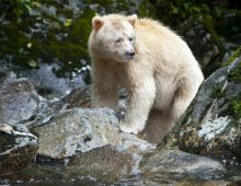 An adult Spirit Bear is seen fishing for salmon on Gribbell Island, Great Bear Rainforest in British Columbia, Canada.