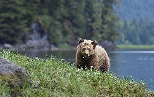 Young grizzly bear (ursidae ursus arctos) on grassy shoreline along estuary channel, Khutzeymateen Inlet of the Great Bear Rainforest, British Columbia, Canada.