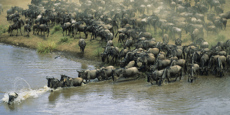 Herd of migrating wildebeest crossing a river in Masai Mara National Reserve, Kenya.