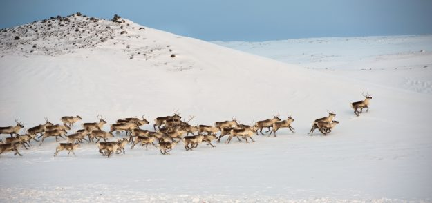 Herd of wild reindeers in the snow in Iceland. Image: Abe/Getty Images