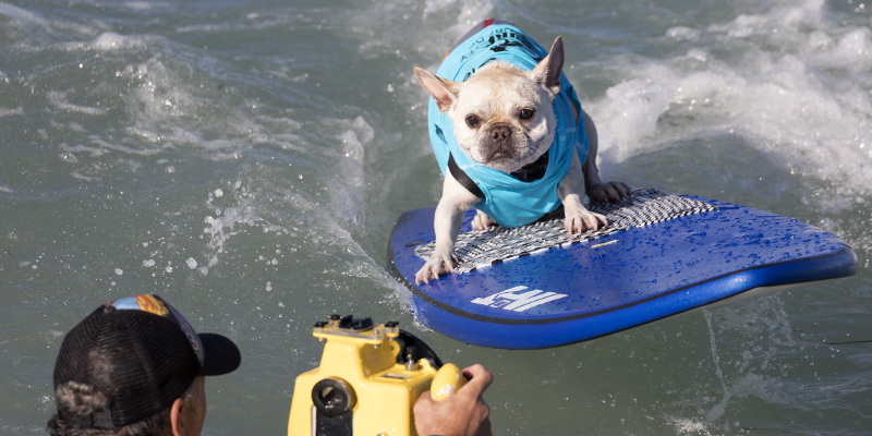 A dog surfs during the 8th annual Surf City Surf Dog competition in Huntington Beach, California. September 25, 2016. The annual event drew participants from as far as Brazil, England and Australia and hundreds of spectators. (Photo by Ronen Tivony/NurPhoto)