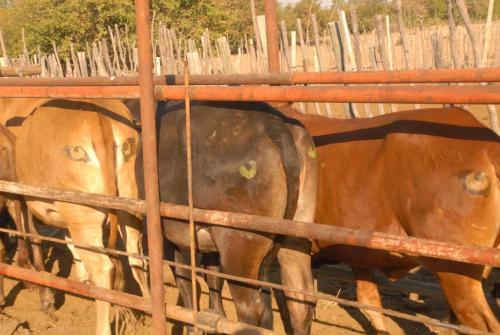 """The """"i-cow"""" project examines whether lions are deterred by eyes painted on cows' bottoms. Image: Carnivore Coexistence"""