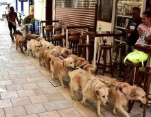 "MUGLA, BODRUM - SEPTEMBER 20 :  Retired Turkish skipper Senol Ozbakan 56-year-old is seen with his dogs in Turkey's Mugla on September 19, 2016. Ozbakan who has thousand of followers on his social media account ""Golden Cetesi"" (Golden Gang) looks after the abandoned ""Golden Retriever"" breed dogs in Mugla, Turkey.  (Photo by Ali Balli/Anadolu Agency/Getty Images)"