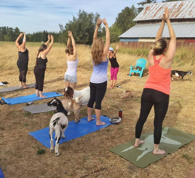 Goats wander around as yogis perform their poses.
