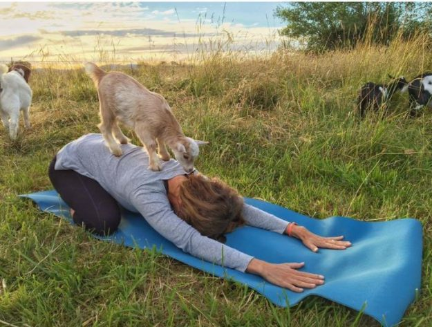 The goats act as therapy animals for the yogis.