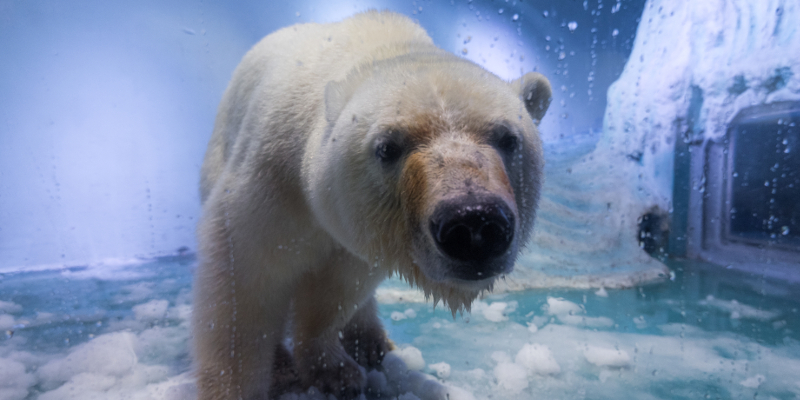 "GUANGZHOU, CHINA - JULY 27: Polar bear ""Pizza"" at an aquarium in Grandview shopping mall on July 27, 2016 in Guangzhou, China. ""Pizza"" is the only live polar bear in south China's Guangzhou. (Photo by VCG)***_***"