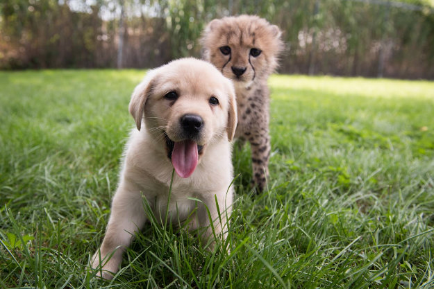 Cheetah and puppy become brothers at Columbus Zoo in Ohio