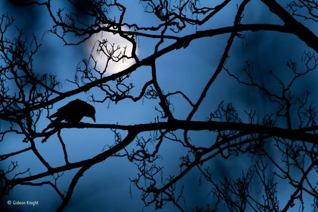 """""""The Moon and the Crow"""", winner of the Young Wildlife Photographer of the Year award."""