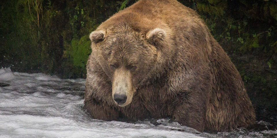 Otis was named the fattest bear in Katmai National Park.