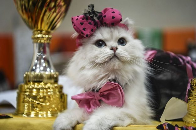 A cat is pictured next to trophies during the world cat show contest