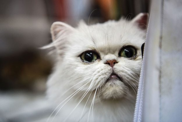 An exotic shorthair cat waits his turn at the a world cat show