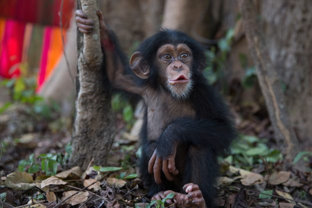 Ten-month-old Soumba is left alone momentarily for the first time since her arrival at the Chimpanzee Conservation Centre in Somoria, Guinea. Image: Dan Kitwood/Getty Images