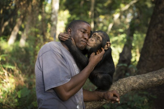 Keeper Albert Wamouno interacts with chimpanzee Hawa during a bushwalk, at the Chimpanzee Conservation Centre in Somoria, Guinea. Image: Dan Kitwood/Getty Images