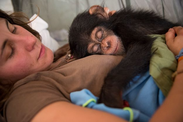 French volunteer Audrey Lenormand, 27, holds ten-month-old Soumba at the Chimpanzee Conservation Centre in Somoria, Guinea. Image: Dan Kitwood/Getty Images