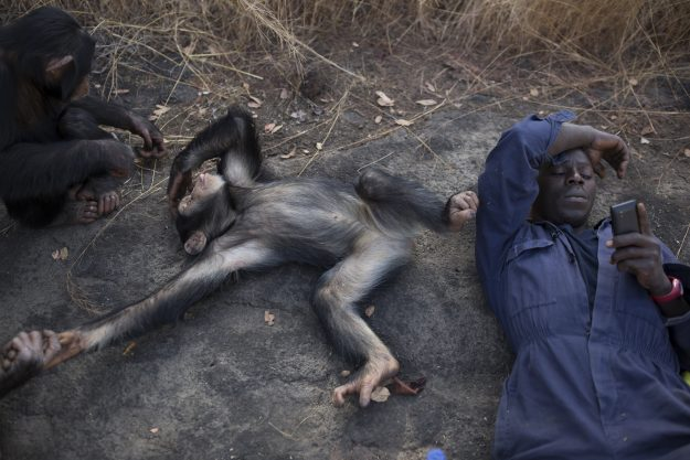 Keeper Sekou Kourouma listens to music on his phone as some of the nursery group play during a bushwalk in the savannah at the Chimpanzee Conservation Centre in Somoria, Guinea. Image: Dan Kitwood/Getty Images