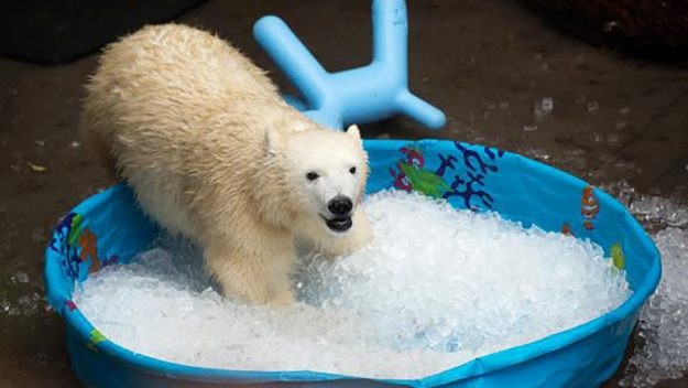 ... -month-old Nora playing in a kiddie pool of ice. Image by: Oregon Zoo