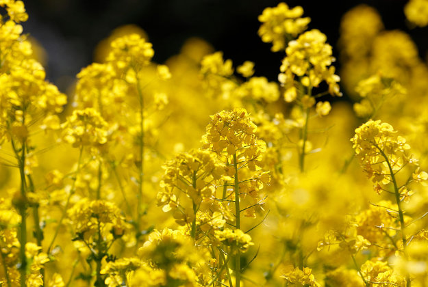 Renewable fuels for aviation are produced from oilseed crops like these rapeseed flowers.