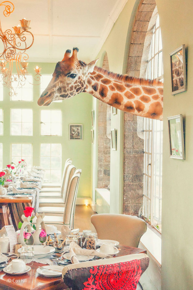 Shortly after purchasing the Giraffe Manor in Nairobi, Kenya, the owners learned that the only remaining Rothschild's giraffes in the country were at risk, as their sole habitat was being subdivided into smallholdings. So they began a breeding programme to reintroduce the Rothschild's giraffe into the wild. Today, guests can enjoy visits from resident giraffes in search of a treat. Canon EOS 5D Mark II; 24–105mm f4 lens; 1/125 sec at f6.3; ISO 1250.
