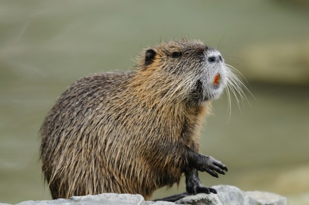 The nutria is the main ingredient in Moscow's new rat burgers.