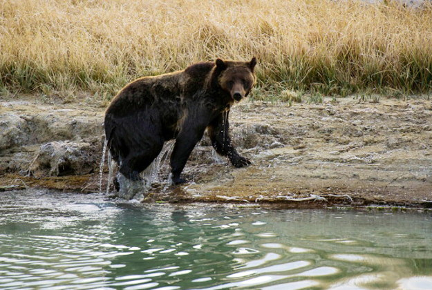 A female Grizzly bear exits Pelican Creek October 8, 2012 in the Yellowstone National Park