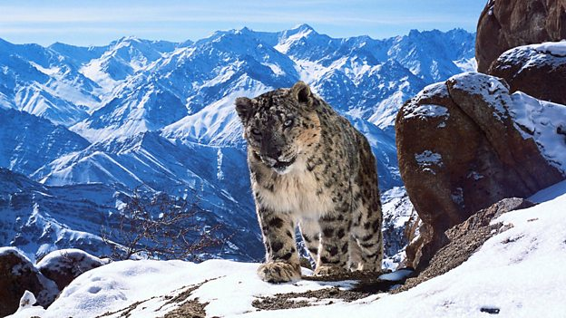 Snow leopards on the Himalayas, Ladakh, India, as featured in Planet Earth II. Image: BBC