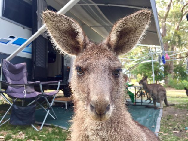 The curious kangaroo hopped into the family caravan in New South Wales, Australia.