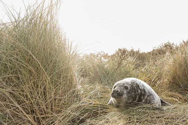 Tourists flock to Louth to see seal pups.